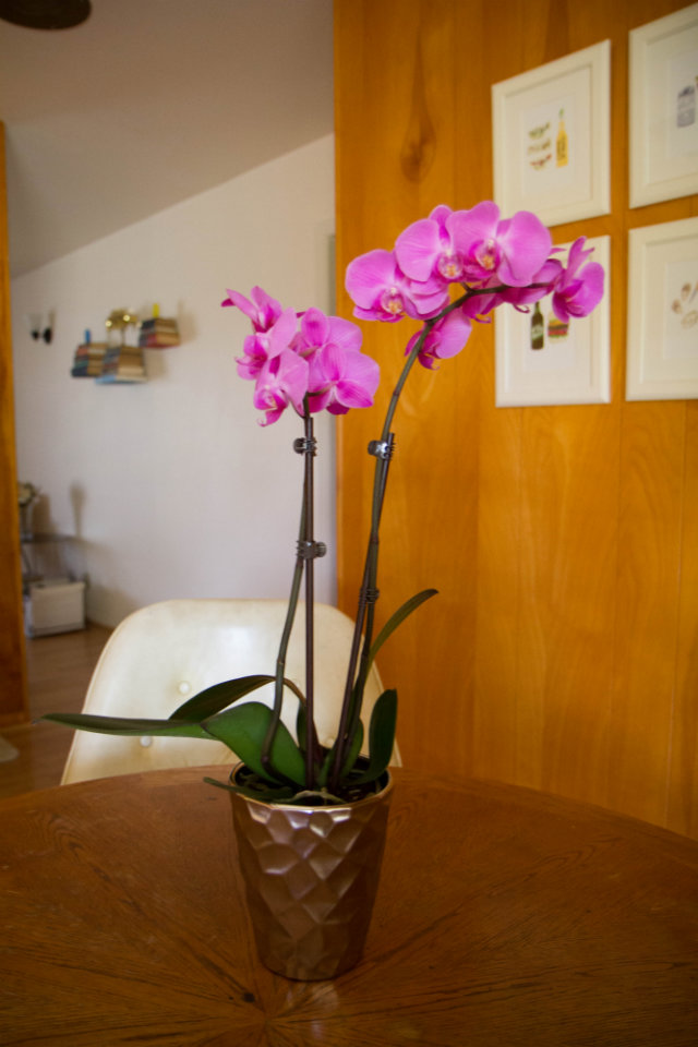 Valentine's Day orchid